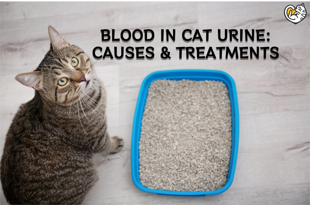 Blood in Cat Urine: Causes and Treatments for Cat Peeing Blood